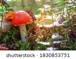 Fly Agaric In Nature  Foliage ...