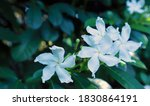 Shrub Of Blooms And Buds Of...