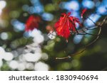 Bright Colour Red Leaves With...