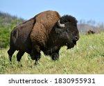 Bison bull, Custer State Park, South Dakota