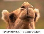 Camel Snout Or Nose Close Up
