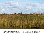 Close Up Of Some Reeds Beds Of...