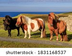 Three windswept Shetland Ponies, a world famous unique and hardy breed and a tourist attraction, on the sunny cliff tops of their native Shetland Islands, Scotland, United Kingdom