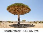 Yemen. Socotra Island. Dragon...