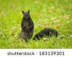 Melanistic Eastern Gray Squirrel (Sciurus carolinensis). Montreal, Quebec, Canada, North America. - stock photo