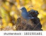 Blue Chaffinch   Fringilla...