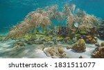 Underwater Caribbean Sea  Shoa...