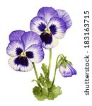 watercolor with pansies flower | Shutterstock . vector #183163715