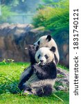 Mother Panda And Her Baby Panda ...