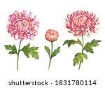 Watercolor Chrysanthemum Set ...