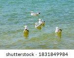 Flock Of Sea Gulls Swimming In...