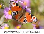 A Bright Peacock Butterfly Wit...
