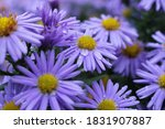 Blue Phlox Alpine Aster Daisy