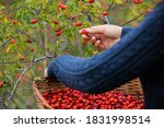 Young Girl Hands  Picking Red...