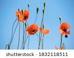 Group Of Red Poppy Flowers Wit...