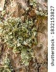 The Gray Green Lichen Parmelia...