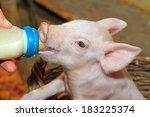 Small Baby Piglet Feeding Milk...