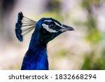 A Beautiful Male Peacock Head ...