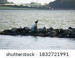 Fresh Water Birds Cormorants In ...