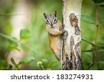 Eastern Chipmunk Squirrel (Tamias striatus) Clinging to a tree. Canada, North America - stock photo