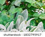 Delicate Fleecy Leaves Of A...