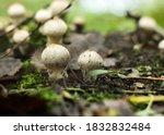 Cluster Of Lycoperdon Perlatum  ...