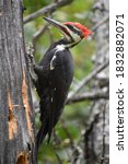 The Pileated Woodpecker ...