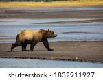 Lake Clark National Park and Preserve, Cook Inlet, Kenai Peninsula, Alaska, brown bear, grizzly bear, coast bear, mudflat, river