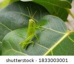 Macro Photo Of A Grasshopper ...