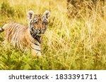 Little Ussuri Tiger In Golden...