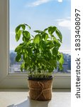 Potted Basil Plant With Lush...
