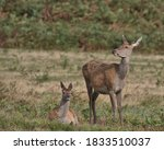 Red Deer Hind With Her Calf.