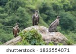 Group Of White Rumped Vulture...