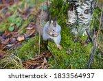 A Cool Little Squirrel  Sciurus ...
