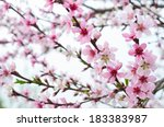 a pink blossom on tree | Shutterstock . vector #183383987
