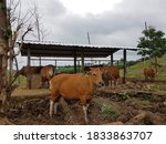 Pasture With Several Male And...