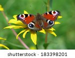 Butterfly Peacock