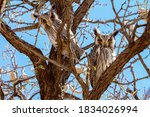Two White Faced Scops Owls...