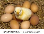 A Yellow Colored Chicken Chick...