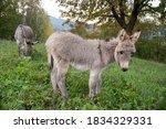 Beautiful Small Donkey Isolated ...