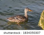 Canadian Duck Swimming In The...