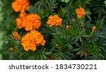 The Beautiful Marigold Flowers...