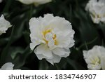 White Peony Flowered Double...