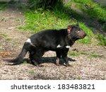 Tasmanian Devil  Sarcophilus...