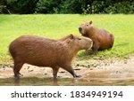 Close Up Of A Capybara Walking...