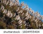 Common Reeds  Phragmites...