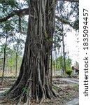 A Large  Sturdy Banyan Tree...