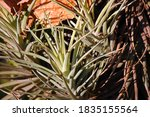 Spiky Epiphyte Plant In Bright...