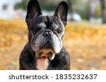 Old French Bulldog In Autumn...