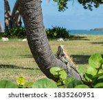 Green Iguana Sunbathing  And...